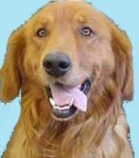 Golden_retreiver
